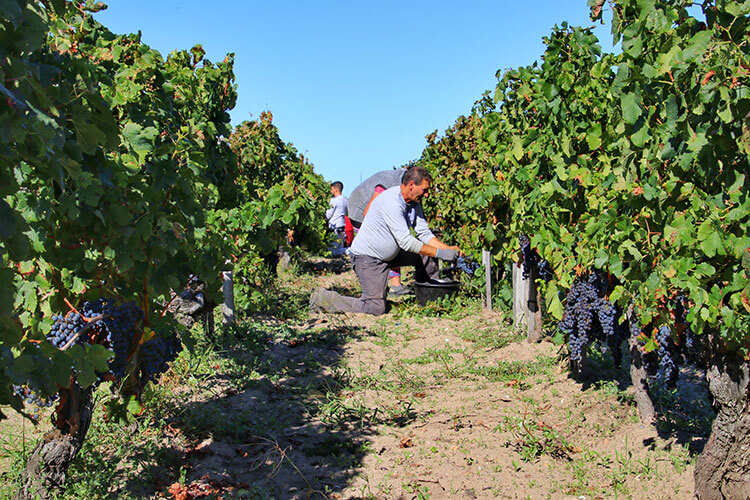 A team of grape pickers is seen kneeling in the Pomerol vineyards as they cut bunches of Merlot grapes from the vines during Bordeaux harvest season
