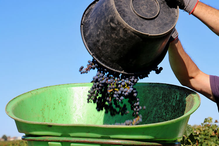 A close up of a picker emptying his bushel into the bucket on the back of a team member during the Pomerol grape harvest