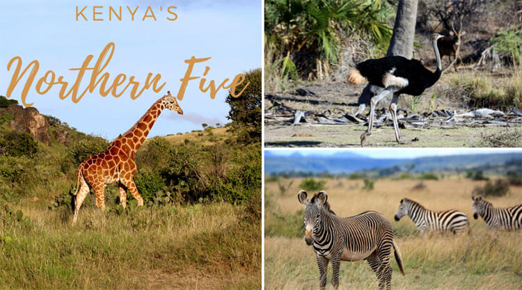 A collage of three of Kenya's Northern Five: the Reticulated giraffe, the Somali ostrich and Grevy's zebra
