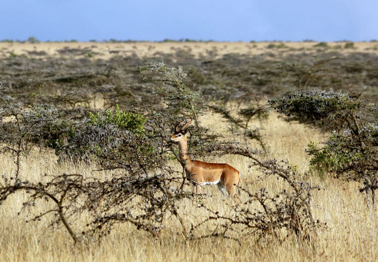 A male gerenuk stands among whistling acacia on the plains of Loisaba Conservancy