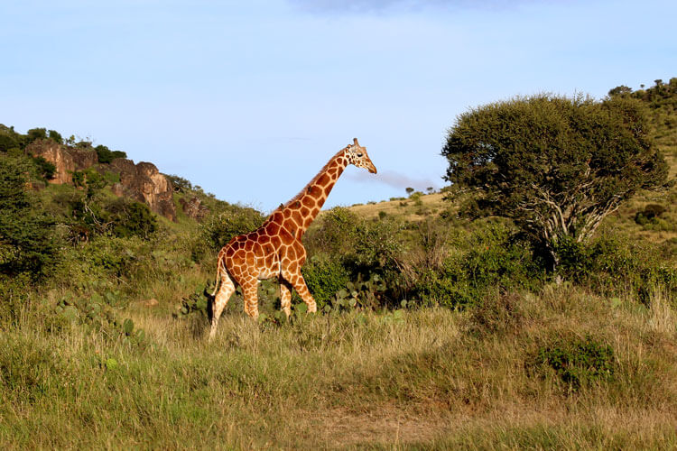 A Reticulated giraffe on the move among the thick bush and rocky landscape of Loisaba Conservancy