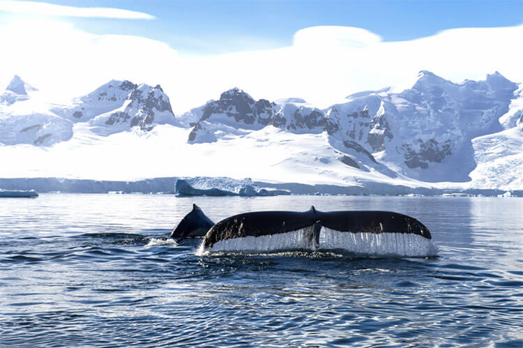 A whale tail in the water in Antarctic with the Ponant ship and glaciers in the background