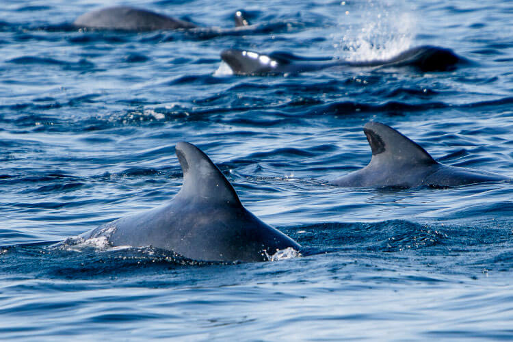 A pod of pilot whale fins stick out of the water in Tenerife