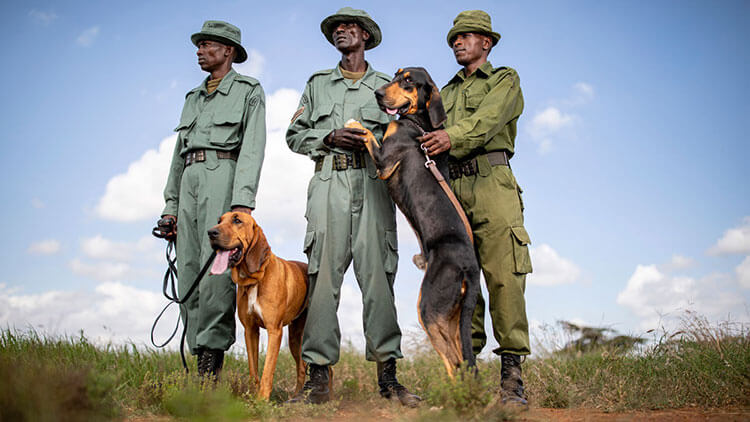 Three anti-poaching patrol guards with two tracker dogs in Loisaba Conservancy