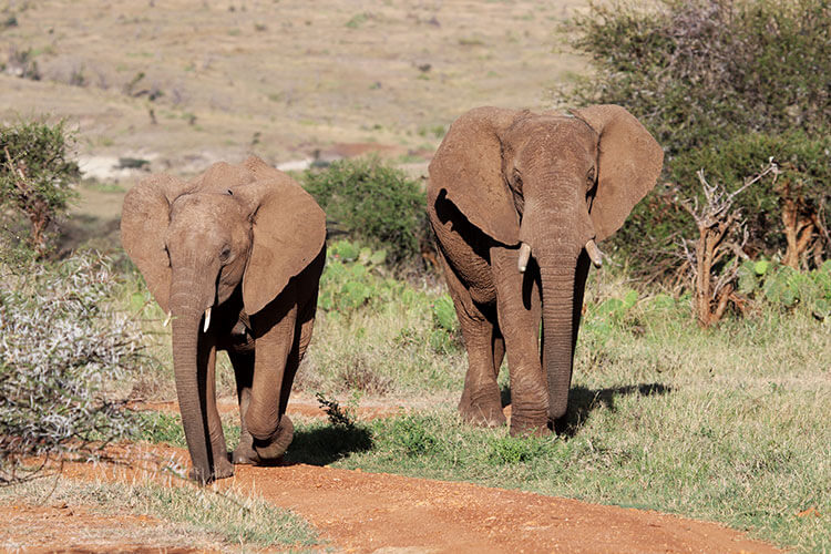 Two elephants walk along a dirt road in Loisaba Conservancy