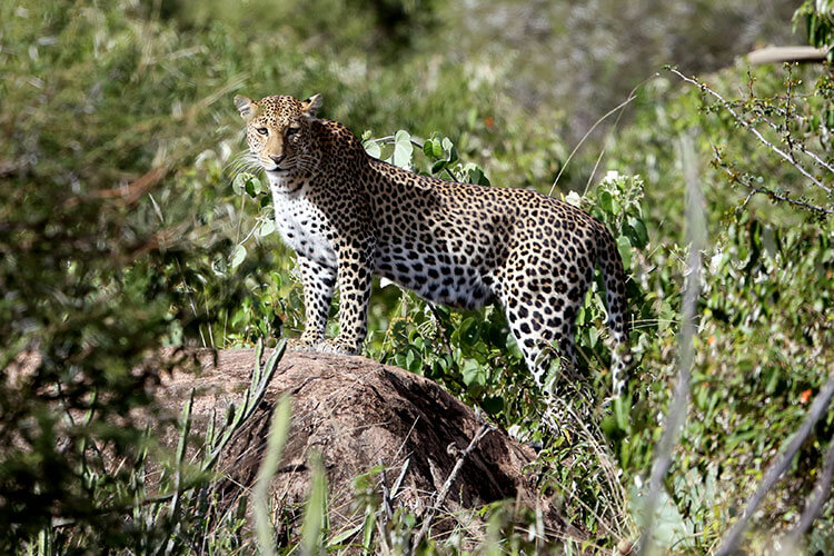 A female leopard stands on a rock in thick bush to scan around in Loisaba Conservancy