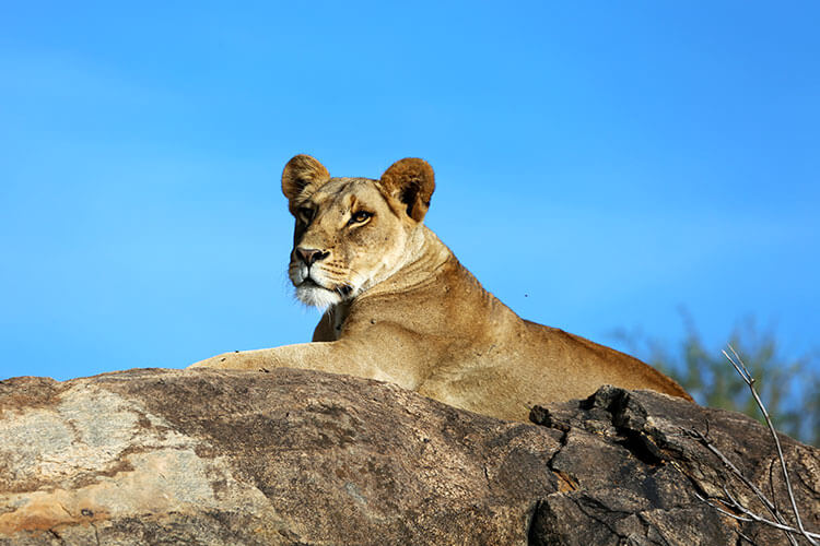 A lioness lays on a rock so she can see over the landscape in Loisaba Conservancy
