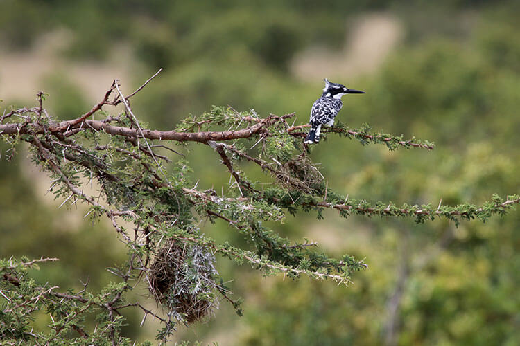 A black and white kingfisher sits on a thorny acacia tree branch above its nest in Loisaba Conservancy