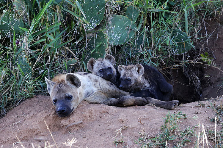 Two spotted hyena pups rest on their mother, who is laying halfway out of the den hole in Loisaba Conservancy