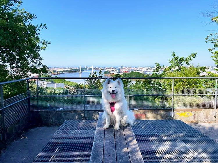 Coco the Samoyed poses at the Belvedere viewpoint with the Bordeaux skyline behind her at the Parc de l'Ermitage Sainte-Catherine in Lormont in the Bordeaux Metropole
