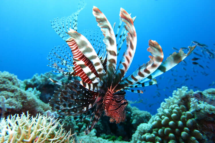 A lionfish is captured swimming on a coral reef
