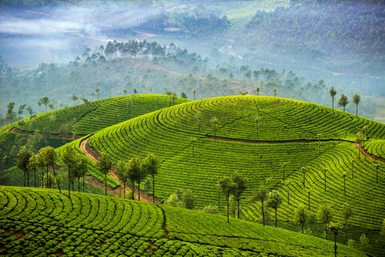 The tea planted hills of Munnar, Kerala, India