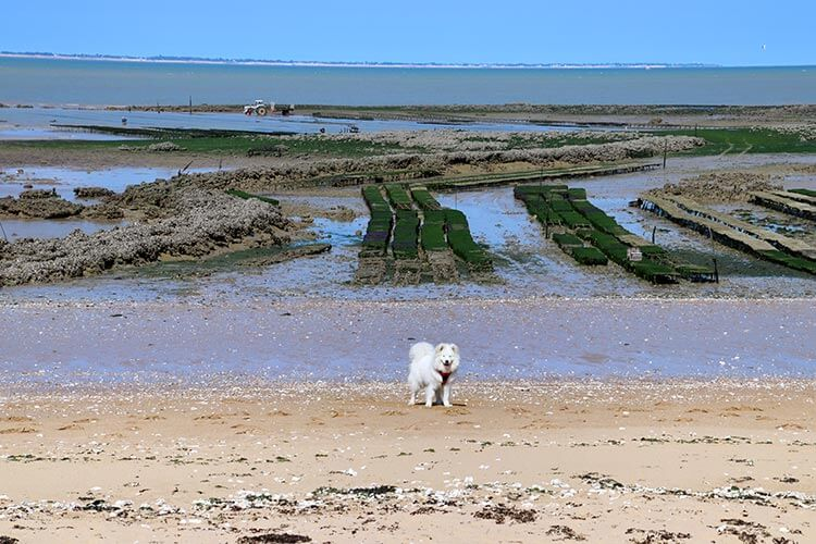Coco the Samoyed plays on the long beach Grande Plage in front of oyster beds on Île d'Aix