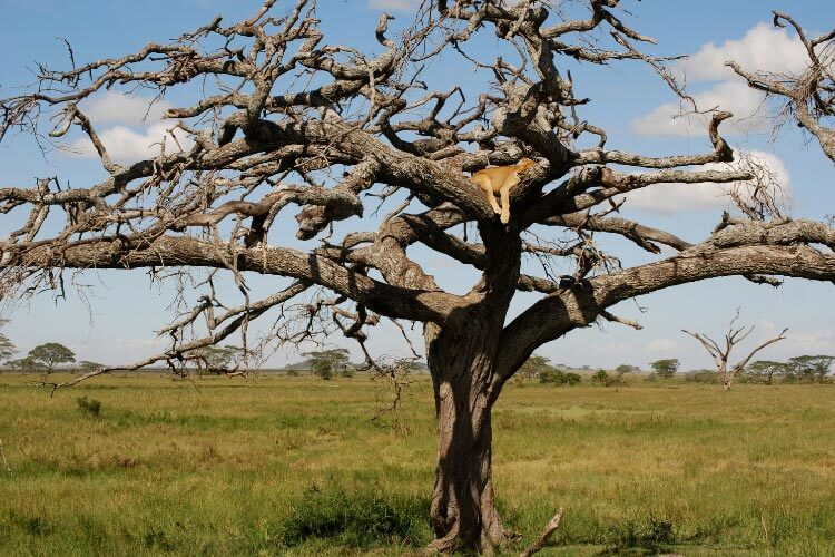 A lionness sleeps up on the branches of a tree in Queen Elizabeth National Park in Uganda