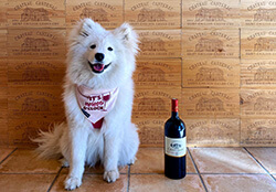 Coco the Samoyed poses with a bottle of wine at Château Cantenac in Saint-Émilion, France